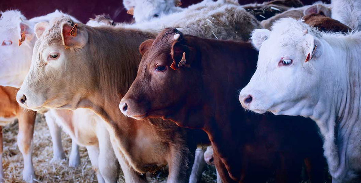 Vaca Vieja de la Finca